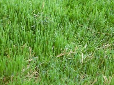 Bermuda Grass (Cynodon Dactylon) Köpek Dişi