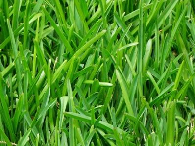 Festuca Arundinacea (Tall Fescue)