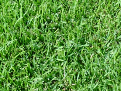 Festuca Rubra Trichophylla (Slender Creeping Red Fescue)