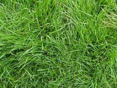 Lolium perenne (Perennial ryegrass)