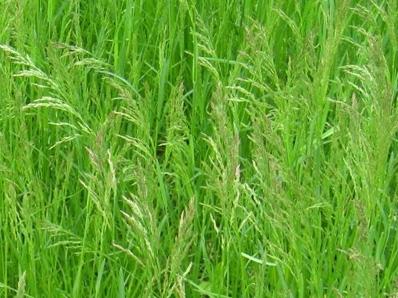 Poa Pratensis (Kentucky Blue Grass)
